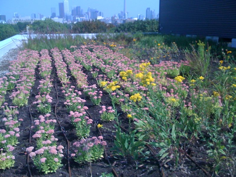 CAMH Green Roof 3